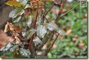 die neuen Rosentriebe im Garten