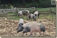 die schwäbisch-hällischen Landschweine