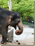 Elefantendame Vilja