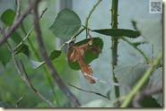 Gespenstheuschrecke