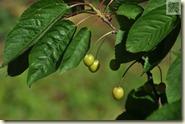 grüne Kirschen