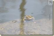 Frösche und Kröten im Natursee