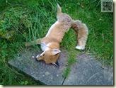der Fuchs ist tot