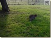 kleines Känguruh (Wallaby)