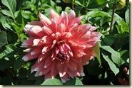 Dahlienblüte im Killesberg
