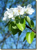 Birnen-Blüten
