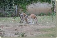 die Familie Känguru