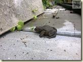 Kröte im Garten