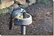 der Tukan im Gewächshaus beim Futtern