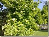 Magnolienblüten im August
