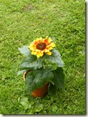 fertiger Topf mit Blume