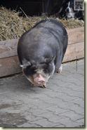 das Hängebauchschwein ist unterwegs