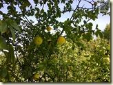 Zitronen in Stuttgart