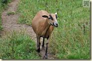 eines der Schafe